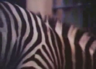 Beautiful zebras fuck in doggy style pose